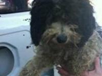 Poodle - Kyleena - Small - Adult - Female - Dog