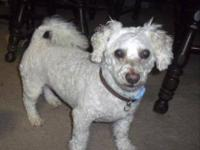 Poodle - Lisa - Small - Adult - Female - Dog Lisa is a