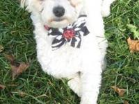 Poodle - Little Beth - Small - Adult - Female - Dog ***