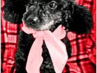 Poodle - Little Miss - Small - Adult - Female - Dog Hi