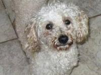 Poodle - Lucy - Small - Adult - Female - Dog Very sweet
