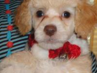 I have 3 male poodle pups available to loving homes. 1