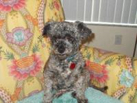 Poodle - Millie - Small - Adult - Female - Dog PLEASE