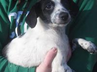 Handsome Long Eared, Poodle Mix, White and Black,