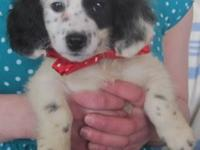 Adorable Poodle Mix Puppies - White and Black, male &