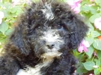 Cockapoo Puppies with beautiful soft hypoallergenic,