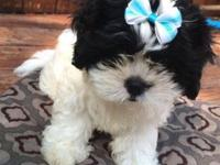 I have a poodle shih tzu mix she is working on potty