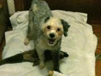 Poodle - Mr Oreo - Small - Adult - Male - Dog 8/2/12
