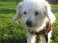 Poodle - Muffit - Small - Senior - Male - Dog