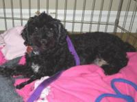 Poodle - Nico - Small - Adult - Male - Dog NEW