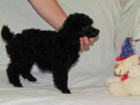 Poodle - Paulo - Small - Senior - Male - Dog Paulo has