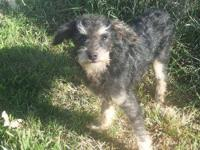 Poodle - Pedro - Small - Baby - Male - Dog Please FILL