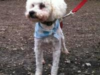 Poodle - Pepper - Small - Adult - Male - Dog To apply