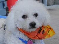 Poodle - Pixy - Small - Adult - Female - Dog PIXY is a