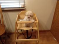 Poodle/ Pomeranian puppies. They are 8 weeks old. The