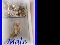 POODLE PUPPIES, GUY AND FEMALE AVAILABLE. POODLES ARE A
