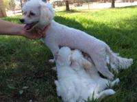 I have four female poodle puppies for sale. These young