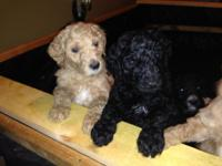 Standard poodle puppies; 5 females, 5 males. DOB:09/