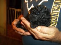 We have two beautiful male toy poodle puppies AKC
