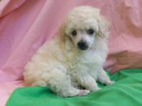 ANDRE is a stunning tiny toy, dark cream male poodle