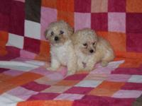 Two female poodle young puppies for sale. They are CKC