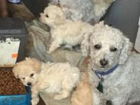 4 poodle puppies for sale, 3 males, 1 female, docked