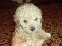Male Poodle puppies for sale in Trussville, Al., ckc