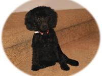 I have 3 remaining AKC miniature poodles. These all
