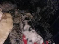 i have 6 beautiful poodle puppies that will be ready