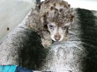 Tiny toy poodle pups prepared to go 12 weaks old going