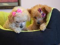 Poodle Puppies Tiny Toys 1 Female , 1 Male Apricots, 8