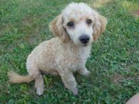I only have one miniature poodle puppy left!!! He is