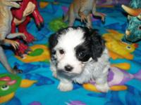This is a sweet little male poodle puppy needing a