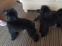 Beautiful Black Mini Poodle Puppy ~ Puppy comes with