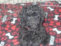 I currently have one female Poodle puppy. (Toy sizes)