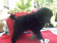 POODLE MALE JET BLACK PUPPIES AKC with Champions in the