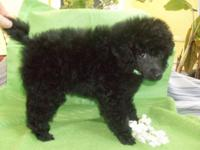 TOY POODLE MALE PUPPY AKC with Champions in the