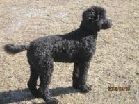 AKC Standard Poodle puppies for sale! Seven girls and