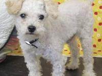 Poodle - Roman - Small - Adult - Male - Dog he is 4 to