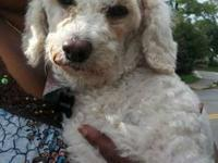 "Poodle - Roxy - Small - Adult - Female - Dog ""MATURE"