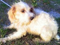 Poodle - Sasha - Small - Adult - Female - Dog Sasha was