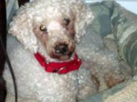 Poodle - Shai - Small - Adult - Male - Dog Shai, which