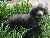 Poodle - Shelby - Small - Senior - Female - Dog Come