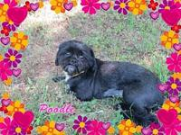 Poodle's story Poodle is a sweet little petite ShihTzu.