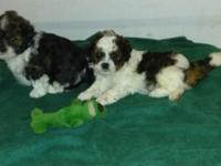 2 beautiful sweet puppies. Both boys....... Shih tzu