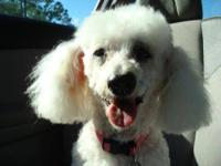 Poodle - Snow - Small - Senior - Female - Dog THIS
