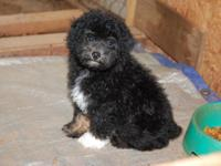 I HAVE ONE MALE POODLE. HE IS CKC REG, TAIL DOCKED AND
