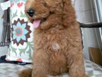 Estandard poodle Ready to go alove able home 8 weeks