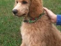 Standard Poodle Male puppy, AKC, dark apricot, 14 weeks