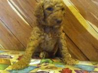 Beautiful Standard Poodle young puppies, AKC, 10 weeks